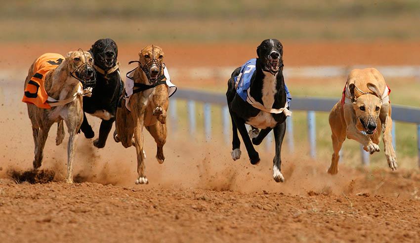 greyhound racing act