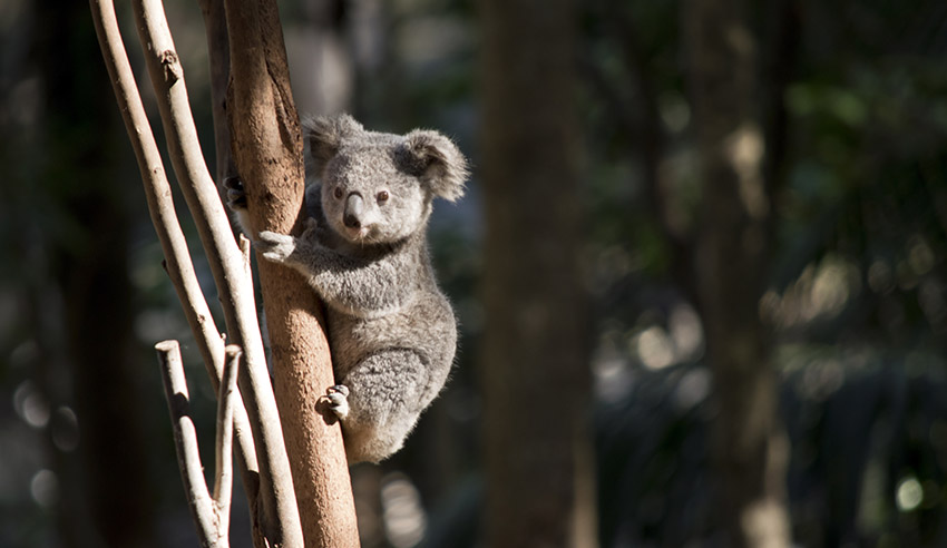 controversial koala bill