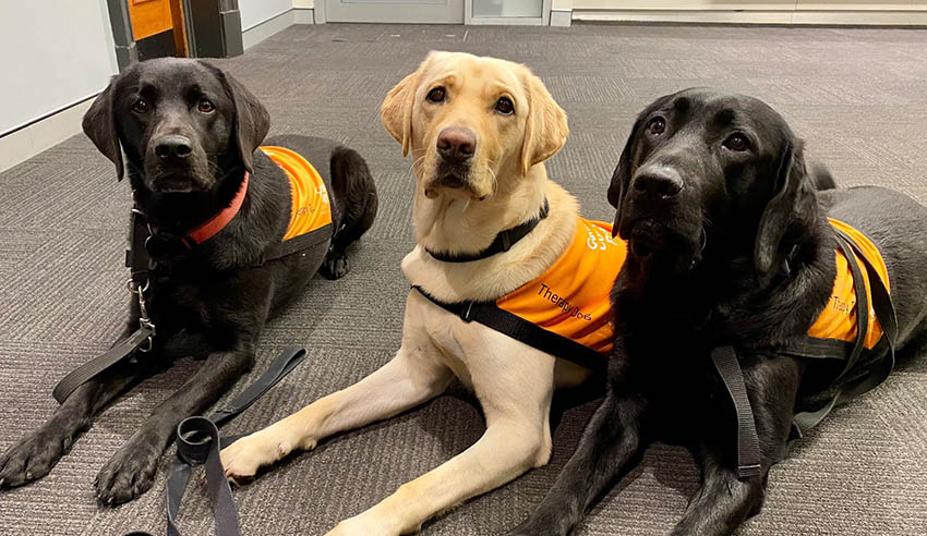 Therapy dogs return to duty in NSW courts