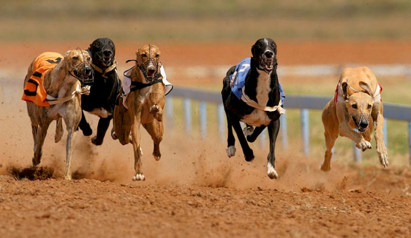 greyhound racing act